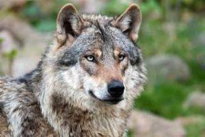 rêver de loup.